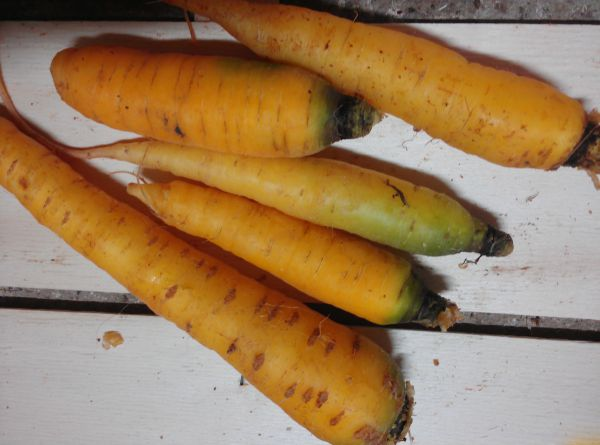 Gelbe Karotten