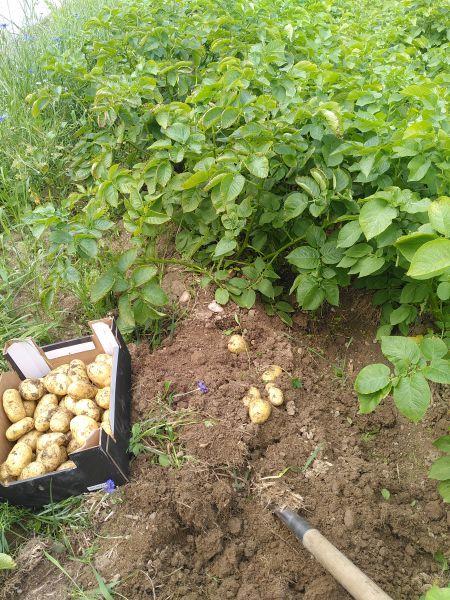 Kartoffeln Otolia