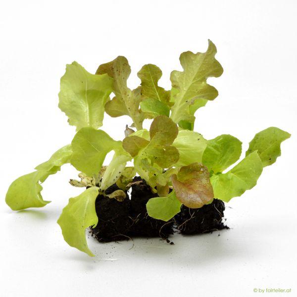 Jungpflanze Salatmischung