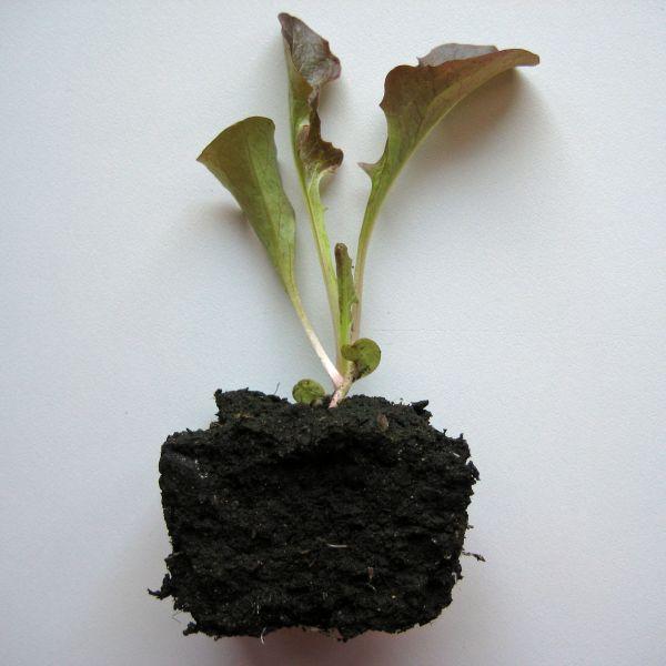 Jungpflanze Eichblattsalat rot