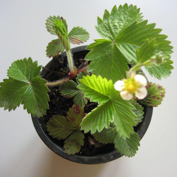 Jungpflanze Monatserdbeeren