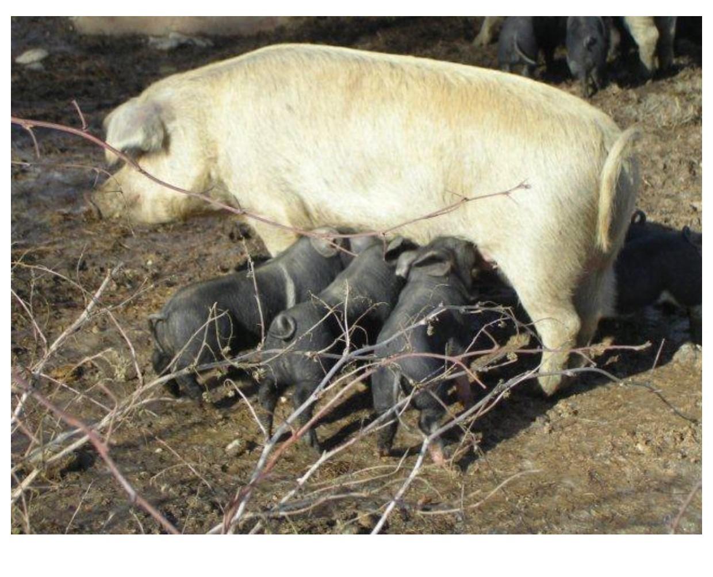 Strasser-Schweine